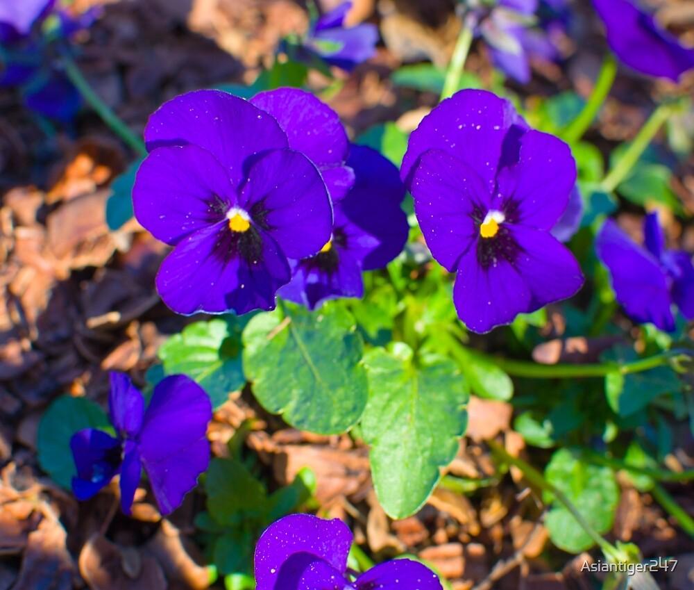 Purple Pansies by Asiantiger247