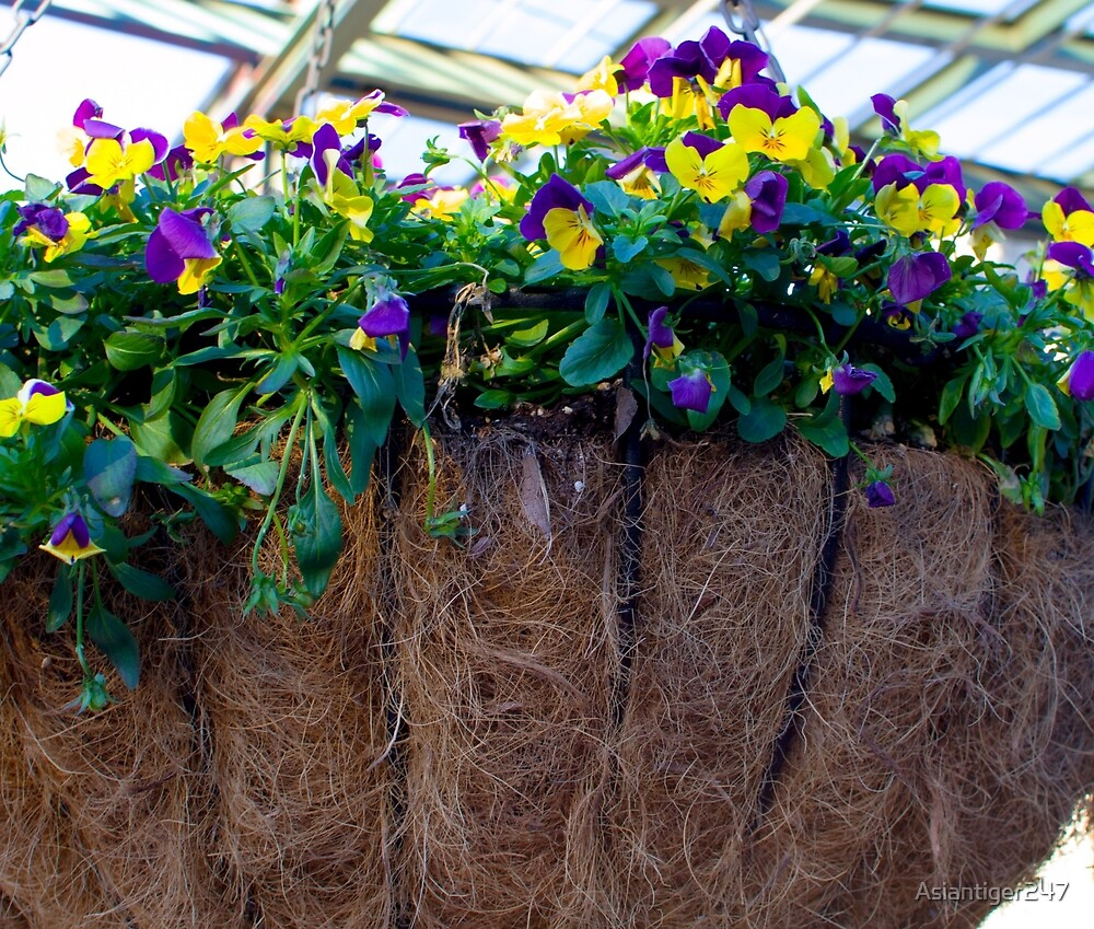 Purple and Yellow Pansies by Asiantiger247