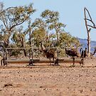 Emus drinking at the Sheep Trough by Kathie Thomas