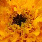 Orange marigold by Ana Belaj