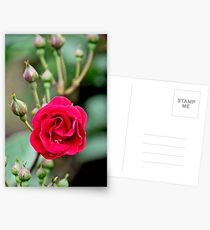 Large Red  Rose in Full Bloom, with more on the way! Postcards
