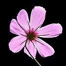 Pink Cosmos by FrankieCat