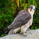 Peregrine Falcon by Nancy Richard