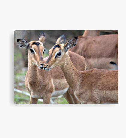 Impala Love Canvas Print