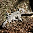 Outa my skin! Asian House Gecko, Hemidactylus frenatus by Normf