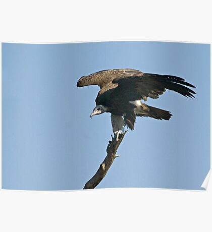 Hooded Vulture Poster