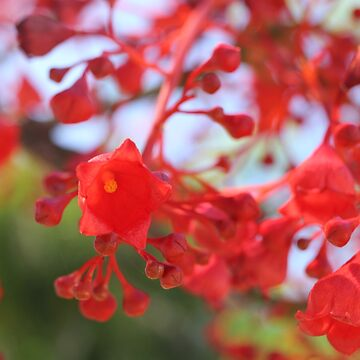 Illawarra flame tree by annyarden