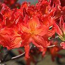 Burnt Orange Azalea Flowers by Joy Watson