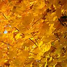 Autumn Gold by Sandy Taylor