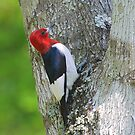 Red Headed Woodpecker by Irvin Le Blanc