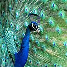 Peacock in bloom by chihuahuashower