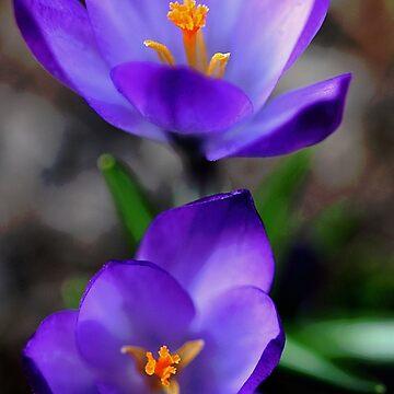 Purple Crocus by rural-guy