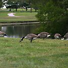 Golf Course Geese by WeeZie
