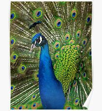Peacock close up Poster