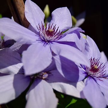 Purple to the core clematis by SteveHarris123