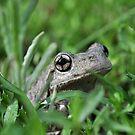 Perons Tree Frog, Litoria peronni. by Moorey