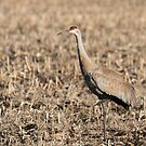 Sandhill Crane 2018-8 by Thomas Young