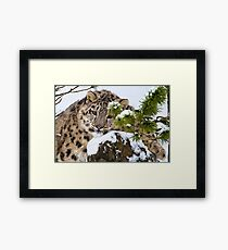 Young Snow Leopard in the snow.  Framed Print