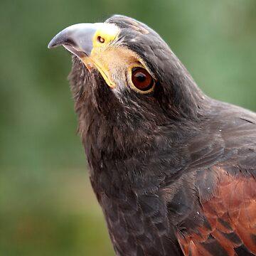 Hawk - Messenger  by RichImage
