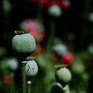 Opium Seeds by Acutogirl