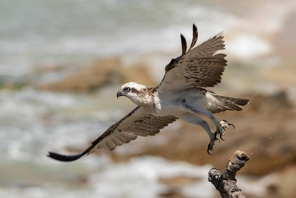 Osprey Takes Flight, Sunshine Coast by Andrew Goodall