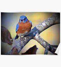 """""""Male Eastern Bluebird"""" Poster"""