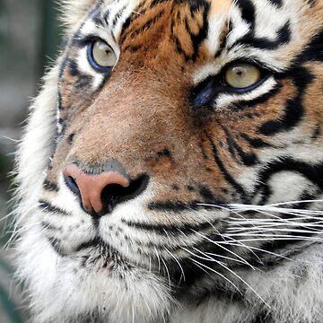 Sumatran Tiger by kirstybush