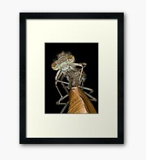 Eclosing of the red damselfly Framed Print