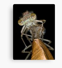 Eclosing of the red damselfly Canvas Print
