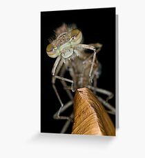 Eclosing of the red damselfly Greeting Card