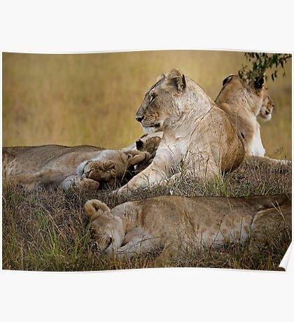Lion's Awekening Poster