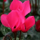 Cyclamen by Wayne Gerard Trotman