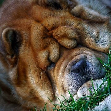 Sleeping Chow-Chow dog by Blauer