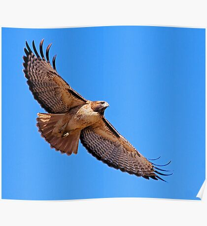 1101091 Red Tailed Hawk Poster