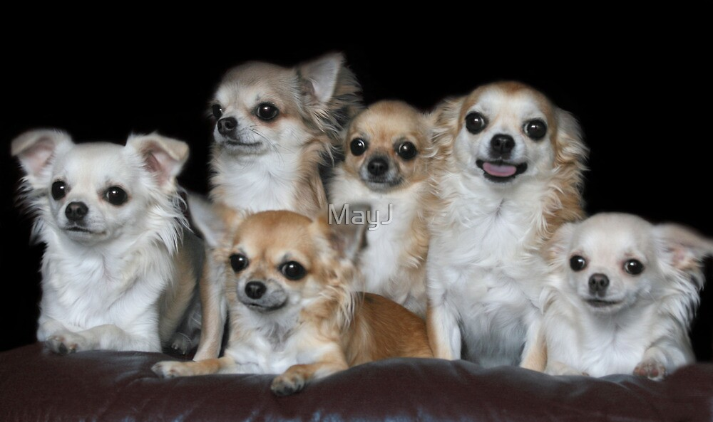 Chihuahuas group portrait by MayJ