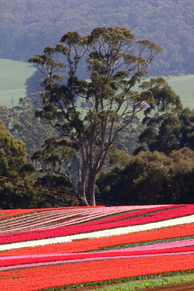 tulips in Tasmania (Australia) by Gaylene Norton