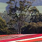 tulips in Tasmania (Australia) by gaylene