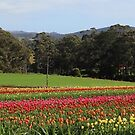 tulips and bush at Moorleah (TAS) by gaylene