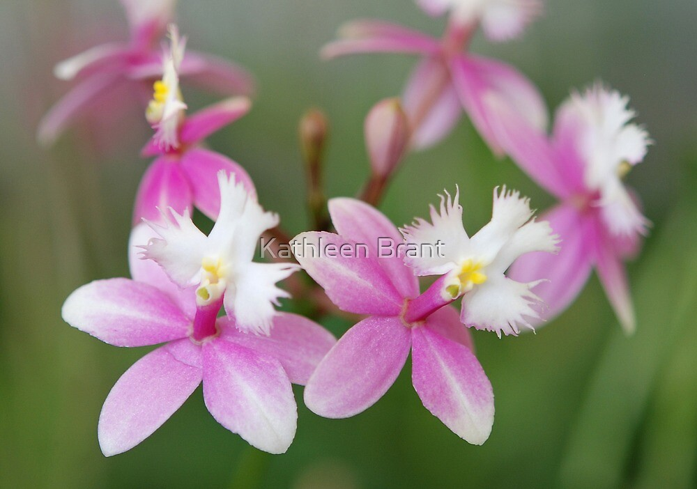 Orchid Ballet by Kathleen Brant