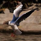 Black-Headed Gull. by Finbarr Reilly