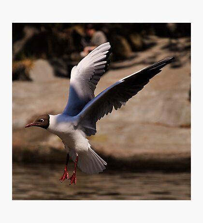 Black-Headed Gull. Photographic Print