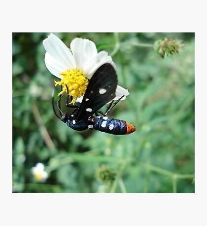 Polka-dotted Wasp Moth Photographic Print