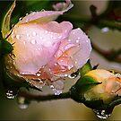 Rain Kissed by Kym Howard