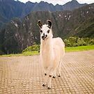 Cute llama posing for picture by Helissa Grundemann