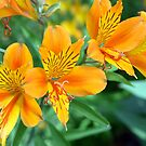 Alstromeria - Peruvian or Inca Lilies. by Sarmorrow