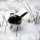 Pied wagtail in the snow by Sarmorrow