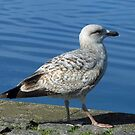 Gull by the Lakeside by MidnightMelody
