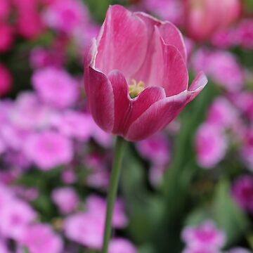Pink Tulip by STHogan