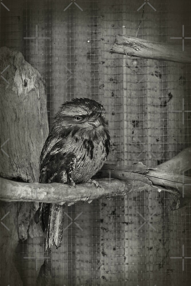 Baby Tawny Frogmouth Owlet by Elaine Teague