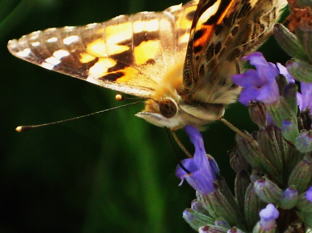 Butterfly close up by NicolaH